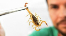 Acidentes com escorpião: o que fazer e o que não fazer