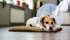 Clinicão orienta sobre cuidados pós-operatórios em cães