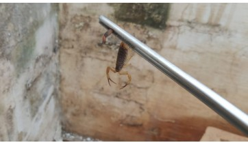 Menino foi picado por escorpião e hospitalizado em estado grave (Ilustração).