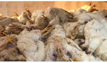 Em dia quente, falta de energia elétrica desliga equipamentos e 6 mil frangos morrem em granja