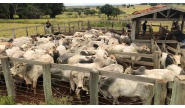 Polícia Civil recupera em Herculândia 79 cabeças de gado roubadas e evita prejuízo de R$ 250 mil