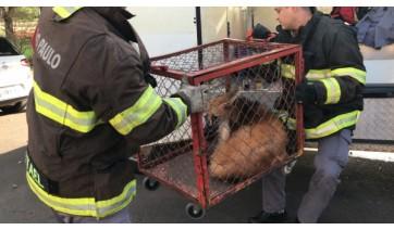 Após passar pelo Parque dos Pioneiros, lobo-guará se refugiou na garagem de uma residência e foi capturado pelos Bombeiros (Fotos: Siga Mais).