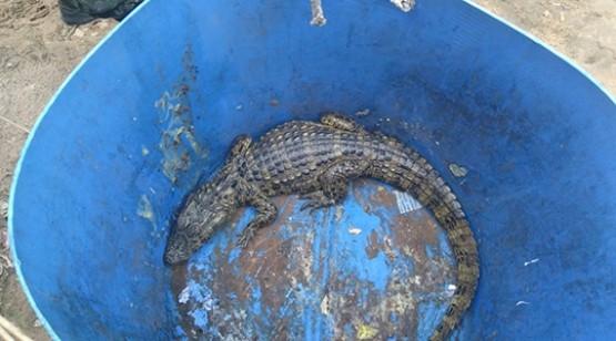 Jacaré é capturado em lagoa tratamento de esgoto de penitenciária e solto no Rio do Peixe