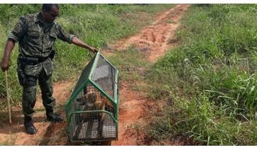 Capturado em Adamantina, lobo-guará fêmea ganha a liberdade no Parque Estadual do Rio do Peixe, na altura de Dracena (Foto: Cedida/PM Ambiental).