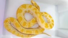 PM Ambiental encontra cobras exóticas e animais silvestres criados sem autorização e aplica multas