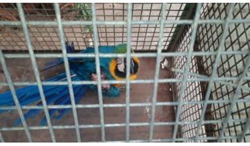 Arara ferida foi resgatada e passou por cirurgia (Cedida/PM Ambiental).
