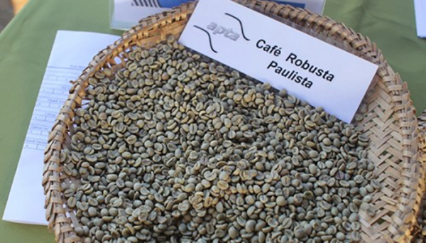 APTA seleciona clones de café robusta para cultivo em São Paulo (foto: Paulo Prendes)