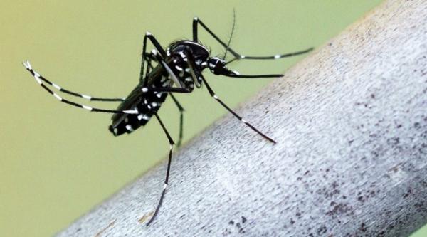 Aedes aegypti, mosquito transmissor da dengue, procria em recipientes com água parada (Usp Imagens).