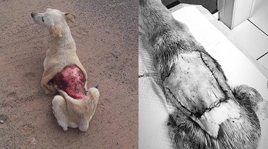 Animal foi encontrado em via pública e atendido por médico veterinário, em cirurgia que durou mais de quatro horas (Imagens: Sueli Fernandes/ Junior Borges).
