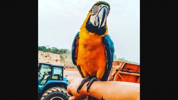 Arara Lala ficou conhecida em toda a região, por ser dócil e interagir com moradores e visitantes do bairro Três Porteiras, em Flórida Paulista (Reprodução/Folha Regional).