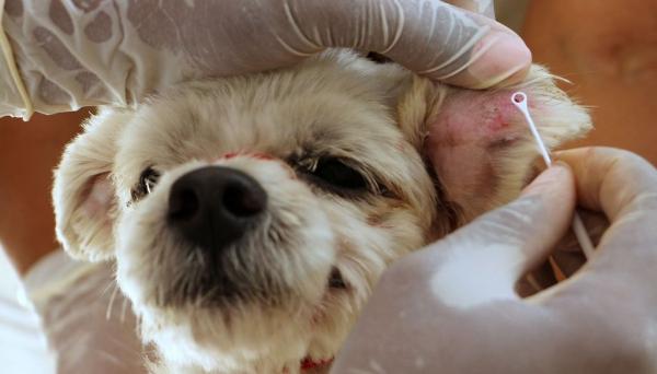 Cães foram diagnosticados com leishmaniose visceral e proprietários acionados, mas as medidas recomendas não foram efetivadas pelos donos (Foto: Secom/PMI).