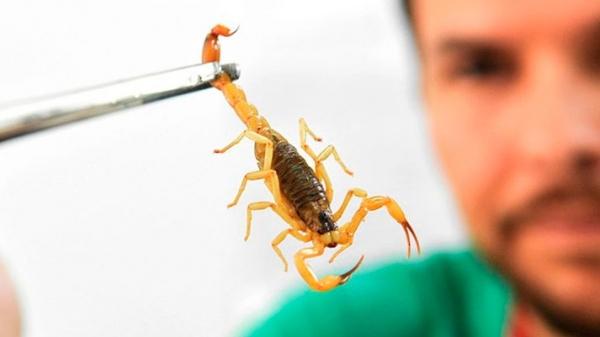 Ao ser picada por escorpião, criança um ano não resistiu e morreu em Parapuã (Ilustração).