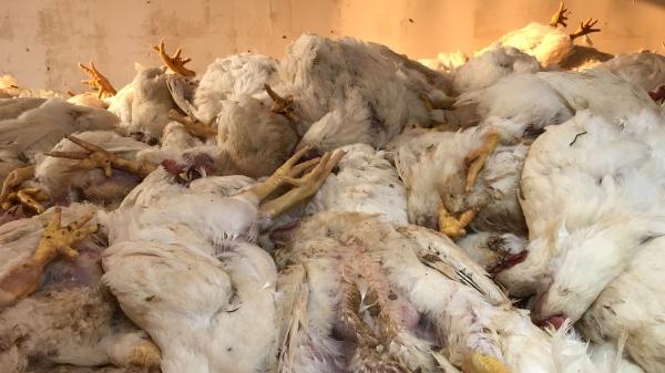 Sem equipamentos de ventilação, por falta de energia elétrica para ativar dispositivos, aves morreram em tarde de altas temperaturas, em granja de Adamantina (Foto: Siga Mais).