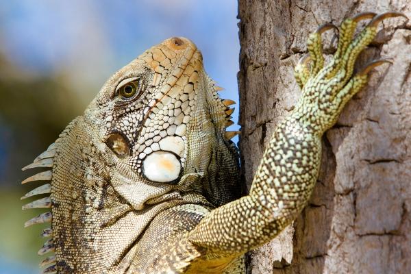 Iguana, em Porto Nacional, TO (Foto: Edu Fortes).