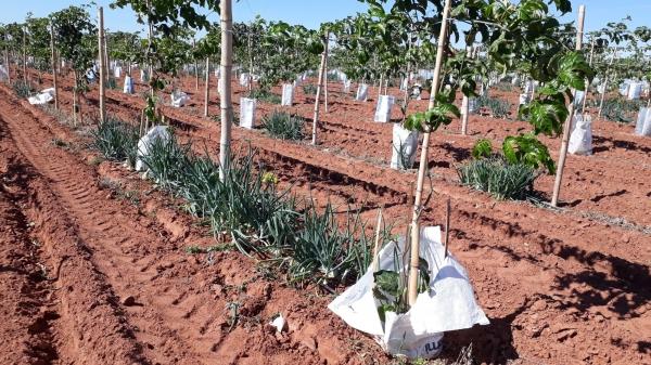 Introdução da cultura da cebola na roça de maracujá  abre oportunidade de renda aos pequenos fruticultores da região (Cedida).