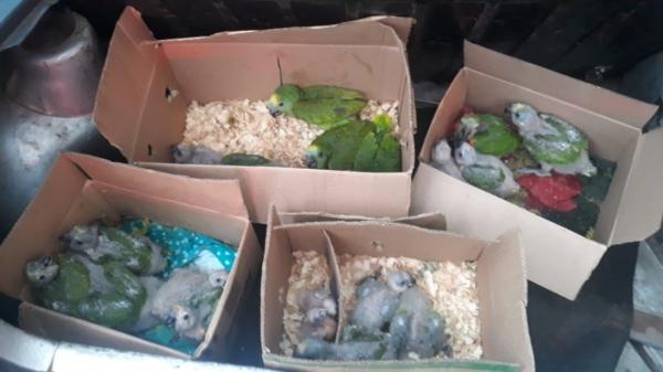 Os 21 papagaios eram levados em caixas de papelão, no porta-malas do carro com placas de Lucélia (Foto: Cedida/PM Rodoviária).